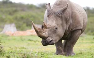 rhino trophy