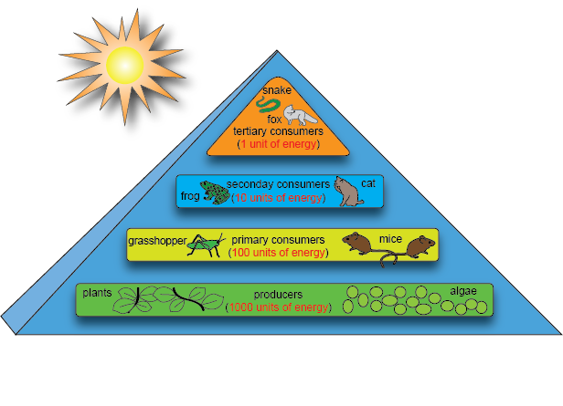 food relationship among living organisms in an ecosystem that first capture