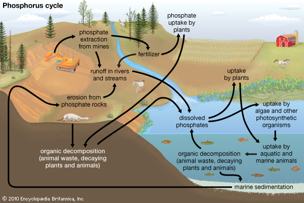 LESSON 6 Cycles and energyflow biotic and abiotic interaction – Phosphorus Cycle Worksheet