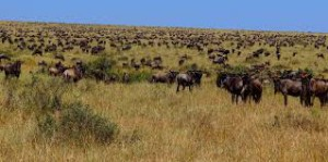 wildebeest grazing carrying capacity